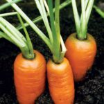 A Good Source of Carotenoids: Carrots